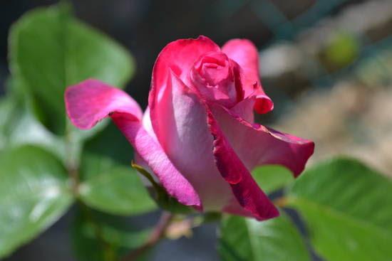 Le rose del mio giardino..