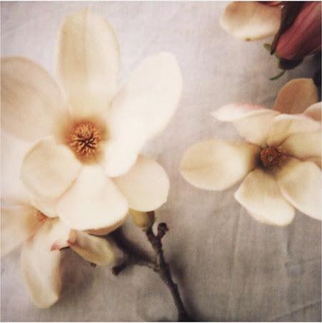 magnoliaaliciabock2
