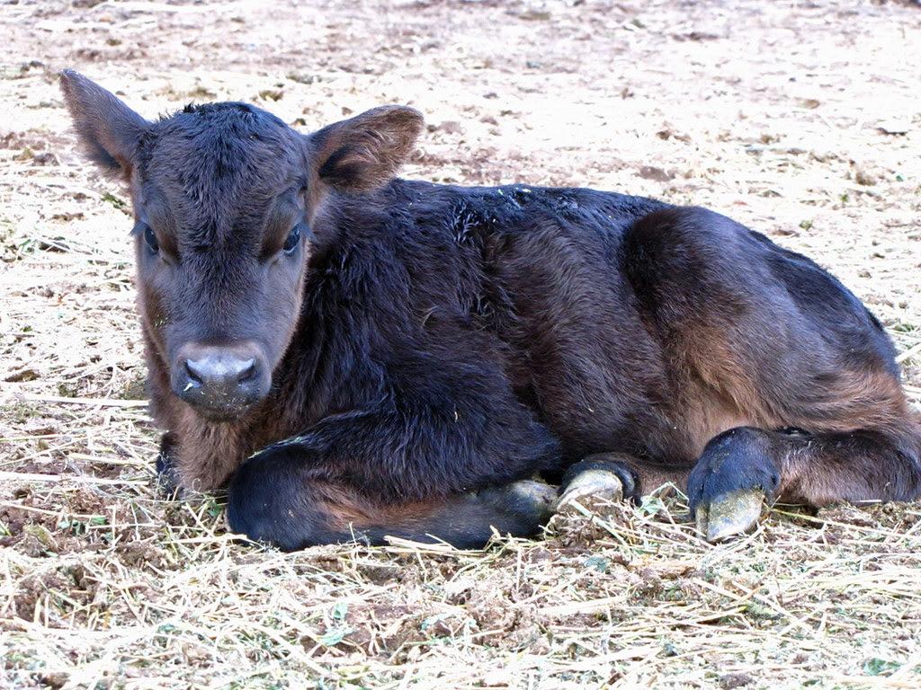 Birth of a Calf 7/7
