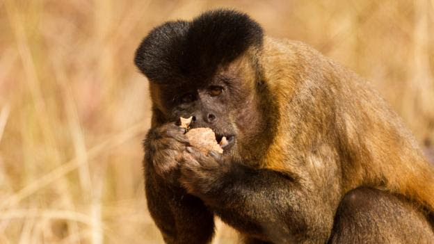 A bearded capuchin eating a nut cracked using a stone (Credit: Mary McDonald/NPL)