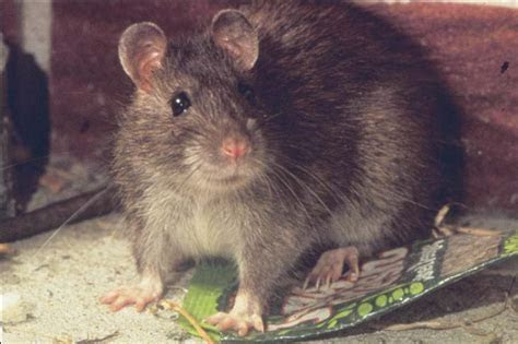 Rats: Control of Rats with Rodenticides   A Complete Guide to Best Practice   Introduction