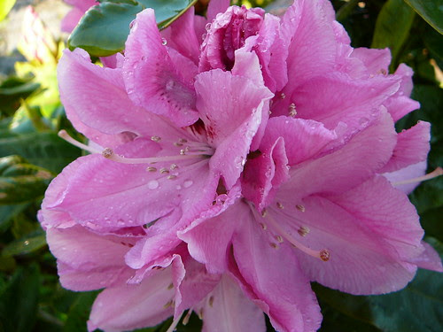 Rhododendron 2008 (03)