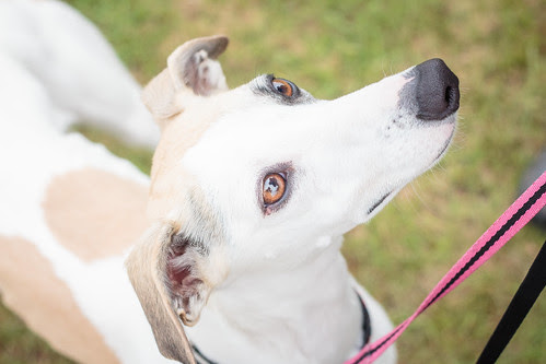 Whippet Nationals-2240