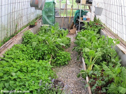 (25-9) Lots of lemon balm and Swiss chard in the homemade greenhouse  - FarmgirlFare.com