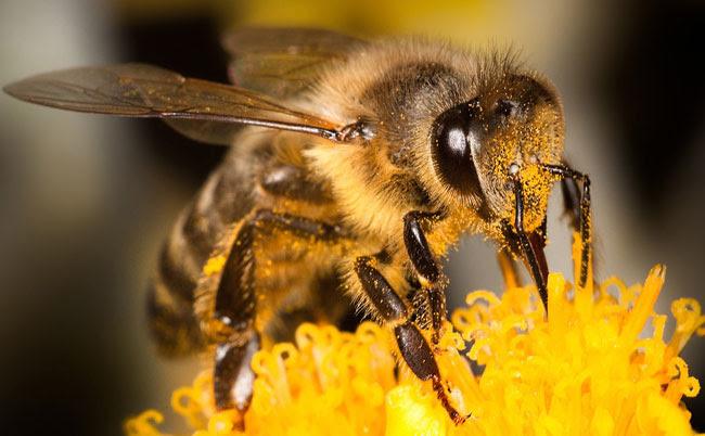 La foto di un'ape, animale operoso