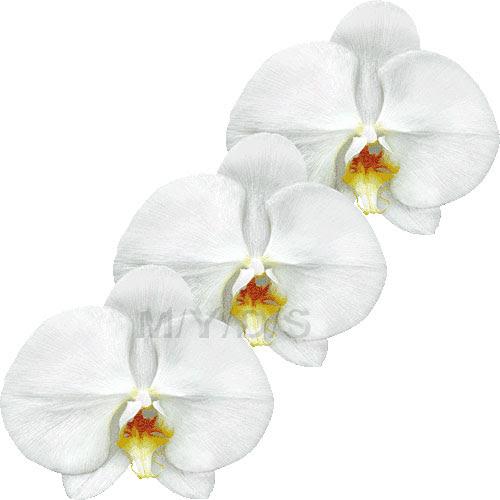 胡蝶蘭の花コチョウランの花のイラスト条件付フリー素材集