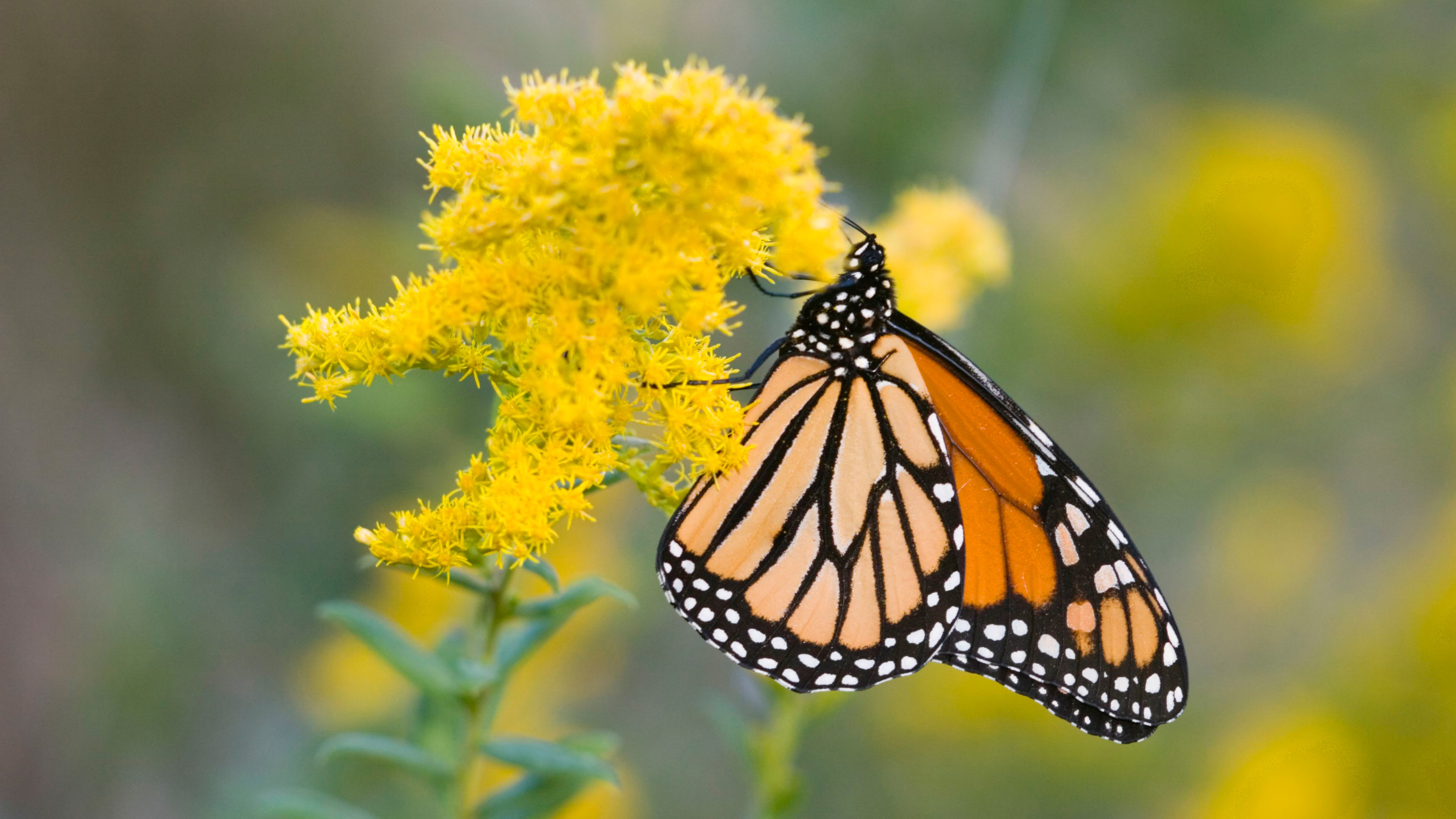 4K Nature Wallpaper with Picture of Monarch Butterfly on ...