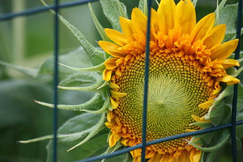 sunflower 098