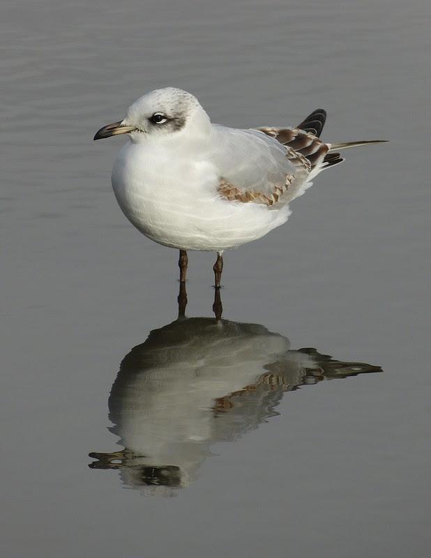 29111 - Mediterranean Gull, Bracelet Bay
