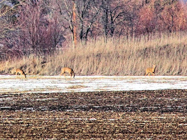 Third deer joins them 20130225