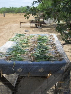 Garlic 2012 Drying