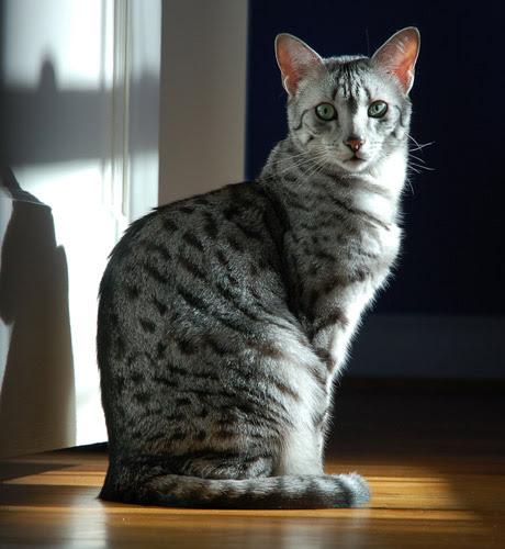 Egyptian Mau Ancient Cat Breeds