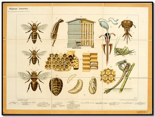 Bees - Zoological Wallcharts 1900-1950