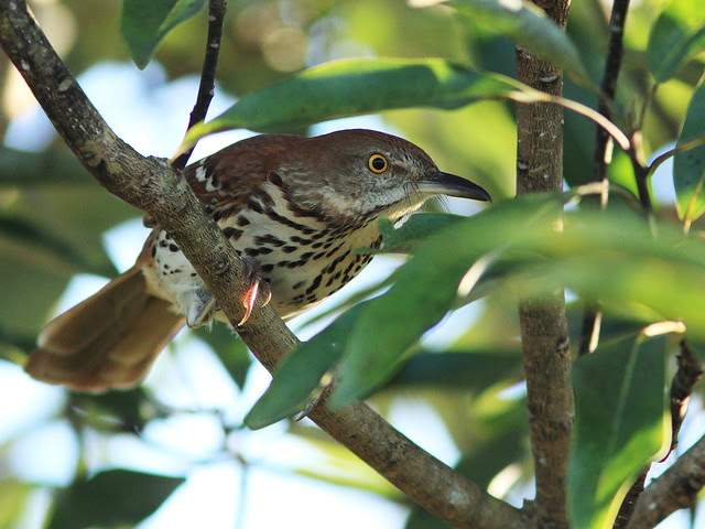 Brown Thrasher 20140212
