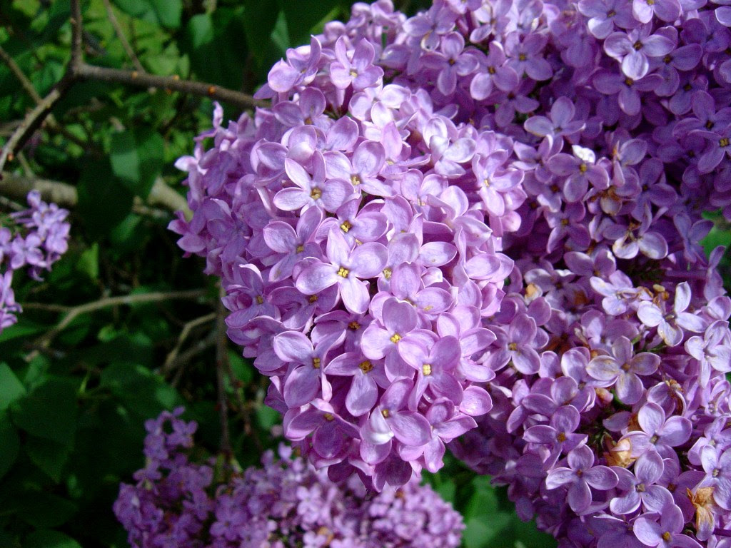 http://upload.wikimedia.org/wikipedia/commons/8/8d/Lilac-flowers1.jpg
