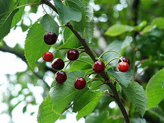 http://www.plantasparacurar.com/wp-content/uploads/2009/12/cerezo.jpg