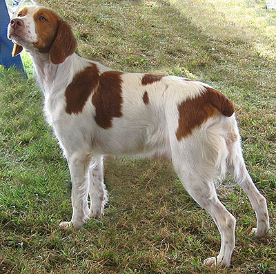 Brittany Spaniel Funny Dogs
