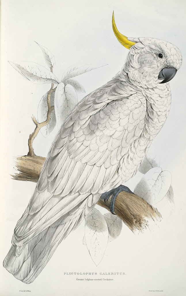 Plyctolophus galeritus. Greater sulphur-crested cockatoo