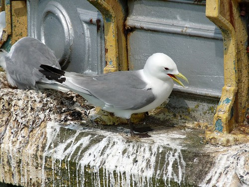 22003 - Kittiwake on Mumbles Pier, Gower