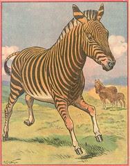 buff zebre