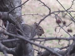 squirrel by Teckelcar