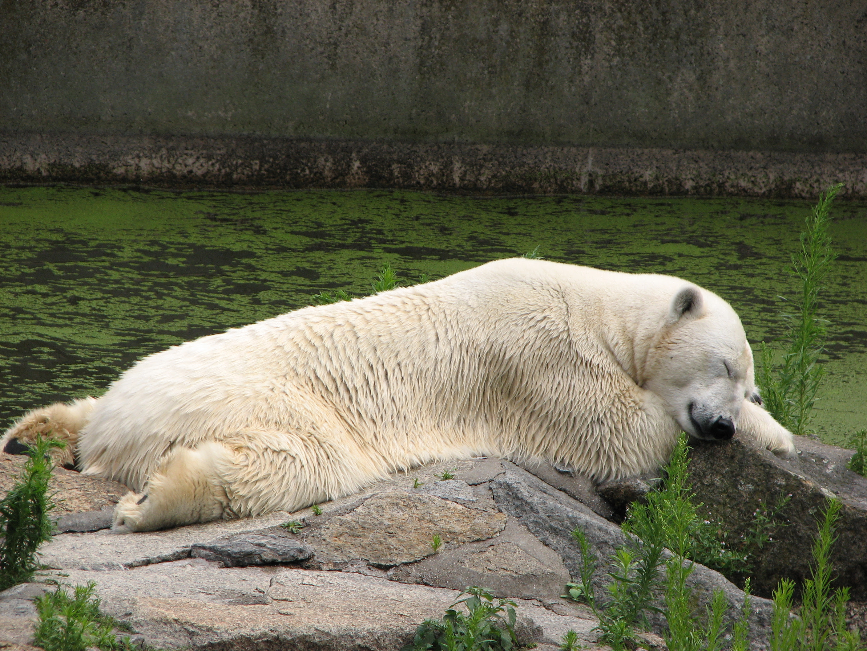 http://upload.wikimedia.org/wikipedia/commons/5/53/Ursus-maritimus-polar-bear-siesta-berlin-zoo.jpg