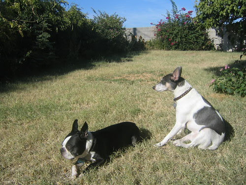 terriers in the sun