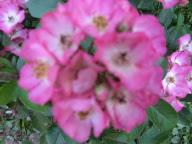 Rose Puccini Foto Mail-Brandt