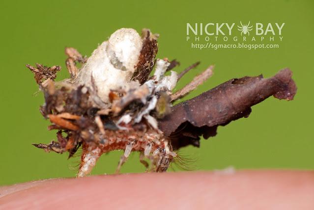 Lacewing larva (Chrysopidae) - DSC_1219