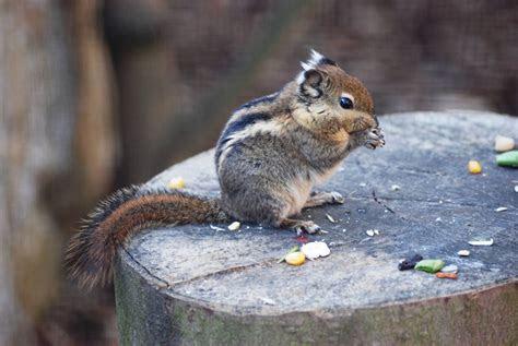 Swinhoe's striped squirrel