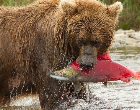 Brown Bears   Zooseum Blog, by Tomas