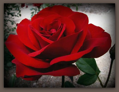 Flickriver Photoset Rosas Y Pimpollos By Isabelitagarcia77