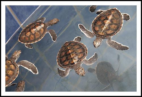 Baby Turtles at Phuket Aquarium