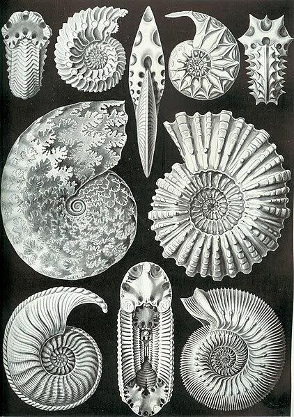 Archivo: Haeckel Ammonitida.jpg