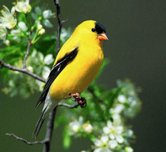 the real yellow angry bird. couldn't find a triangular bird.