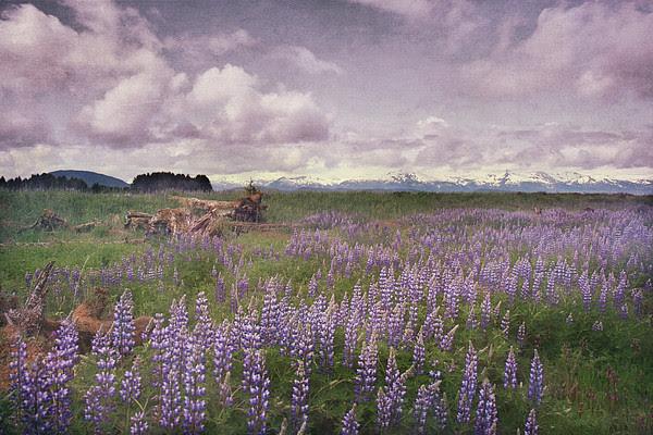 Lupine In Alaska Wilderness Print by Dagny Willis