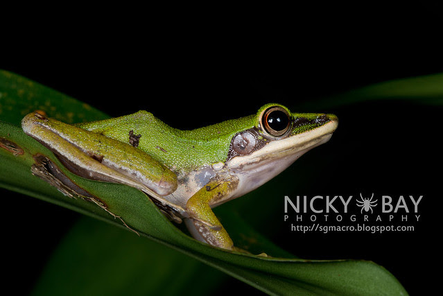 Copper-cheeked Frog (Hydrophylax raniceps) - DSC_7952