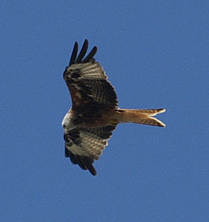 Red Kite flying over Berkshire in August 2008....