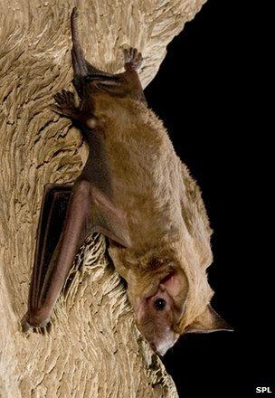 Beccari's freetail bat