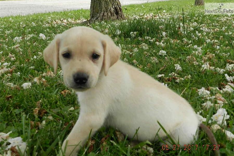 Yellow Labrador Retriever puppy for sale near Kansas City, MO