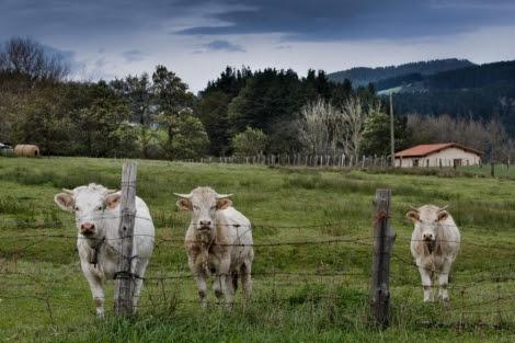 Ganado vacuno en el País Vasco.   Iñaki Andrés