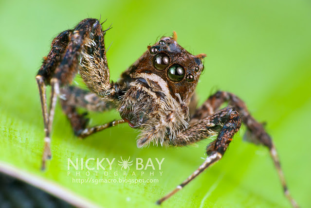 Jumping Spider (Portia sp.) - DSC_5646