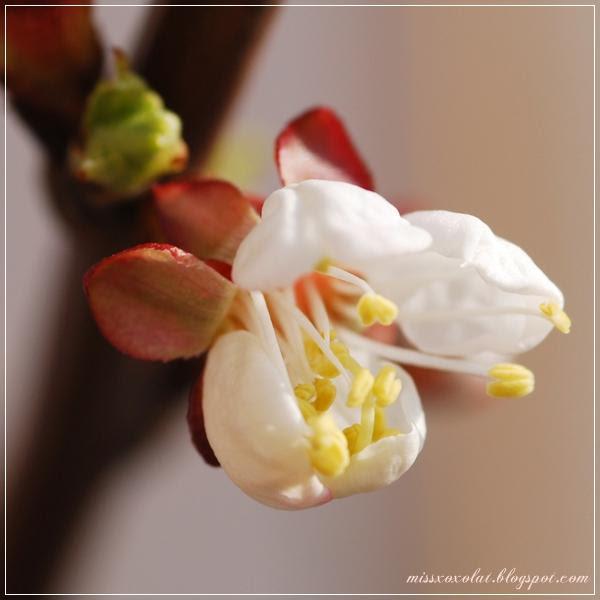 Marillenblüte