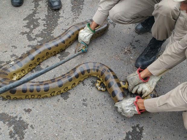 Cobra foi capturada após devorar duas galinhas em galinheiro (Foto: Tenente Daniel Alves/ 2º BBM)