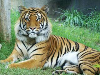 http://sdzsafaripark.org/tiger-cam
