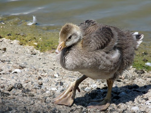 21935 - Greylag Goslings at WWT