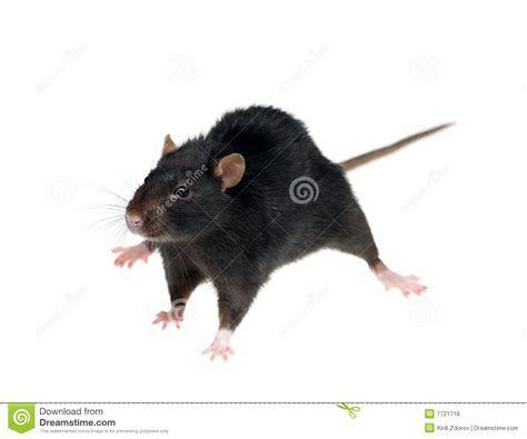 Black Rat Royalty Free Stock Photos   Image: 7721718