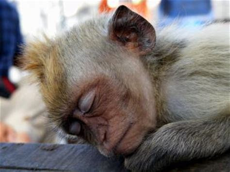 kumpulan gambar lucu monyet  menggemaskan