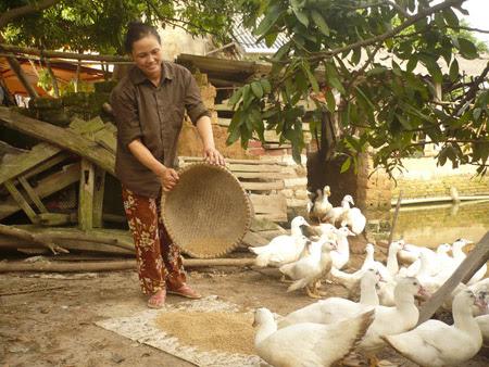 Mỗi năm đàn gia cầm mang về cho vợ chồng bà Linh hàng trăm triệu đồng.
