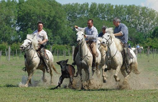 """Résultat de recherche d'images pour """"chevaux de camargue"""""""